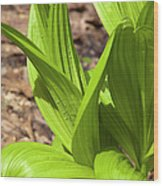 Indian Poke -veratrum Veride- Wood Print