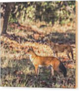 Indian Wild Dogs Dholes Kanha National Park India Wood Print