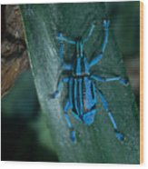 Indigo Blue Weevil Wood Print