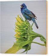 Indigo Bunting Sunflower Wood Print