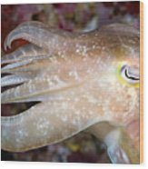 Indonesia, Cuttlefish Wood Print