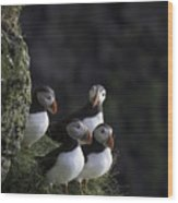 Ingolfshofthi Puffins Iceland 2855 Wood Print