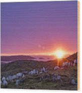 Inquisitive Flock At Dawn, Harris Wood Print