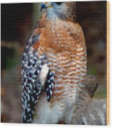 Inquisitive Red Tailed Female Hawk Wood Print