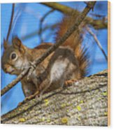 Inquisitive Squirrel Wood Print