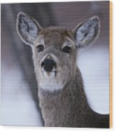 Inquisitive Yearling Wood Print