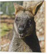 Interview With A Swamp Wallaby Wood Print