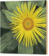 Inula Grandiflora Wood Print
