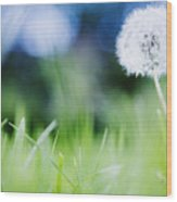 Ireland, County Westmeath, Dandelion In Meadow Wood Print