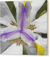 Iris An Explosion Of Friendly Colors Wood Print