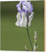Iris Buds To Flower Wood Print