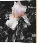 Iris Emergance Wood Print