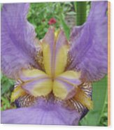 Iris Flower Lavender Purple Yellow Irises Garden 19 Art Prints Baslee Troutman Wood Print
