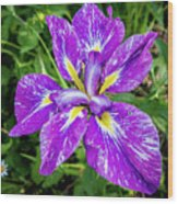 Iris Flower Wood Print
