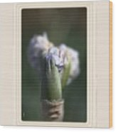 Iris Flower Starts To Reveal And Design Wood Print