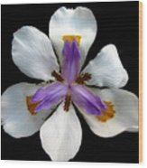 Iris For Easter  Wood Print