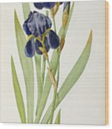Iris Germanica Wood Print by Pierre Joseph Redoute