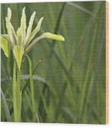Iris Palaestina Wood Print