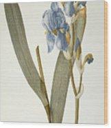 Iris Pallida Wood Print by Pierre Joseph Redoute