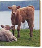 Irish Calves At Lough Eske Wood Print