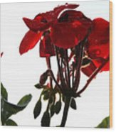 Isolated Red Geranium Wood Print