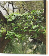 Ivy-covered Arch At The Alamo Wood Print
