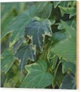 Ivy Greens Wood Print
