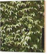 Ivy Sunlight Wood Print