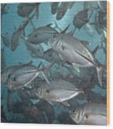 Jack Fishes At The U.s.a.t. Liberty Wreck Wood Print