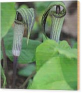 Jack In The Pulpit Enhanced Wood Print