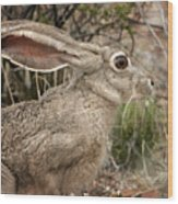 Jack Rabbit Portrait Wood Print