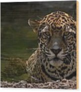 Jaguar In The Water Wood Print