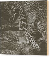Jaguar On The Prowl Wood Print