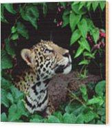 Jaguar Panthera Onca Peeking Wood Print