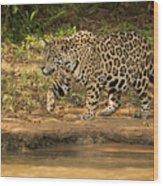 Jaguar Walking Beside River In Dappled Sunlight Wood Print