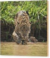 Jaguar Walking Through Muddy Shallows Towards Camera Wood Print