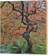 Japanese Garden Lace Leaf Maple Tree In Fall Wood Print