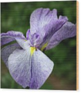 Japanese Iris Unfolding Wood Print