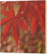 Japanese Maple In Afternoon Wood Print
