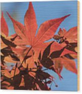 Japanese Maple In Sunlight Wood Print