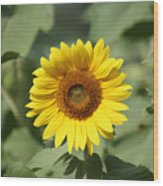 Jarrettsville Sunflowers - The Star Of The Show Wood Print