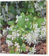 Jasmine In Bloom Wood Print