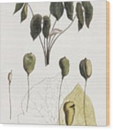 Jeffersonia Diphylla Wood Print