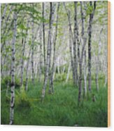 Jesup Path Birches Wood Print