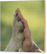 Jim Dutcher Places His Hand To The Paw Wood Print by Jim And Jamie Dutcher