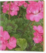 Joyful Geranium  Wood Print