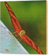 Julia Heliconian Butterfly Spreading Its Wings In Iguazu Falls National Park-brazil  Wood Print