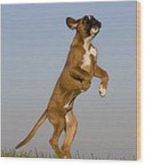 Jumping Boxer Puppy Wood Print by Jean-Louis Klein & Marie-Luce Hubert