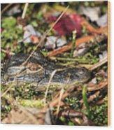 Juvenile American Alligator Wood Print