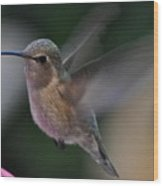 Juvenile Anna's Hummingbird Landing On Perch Wood Print